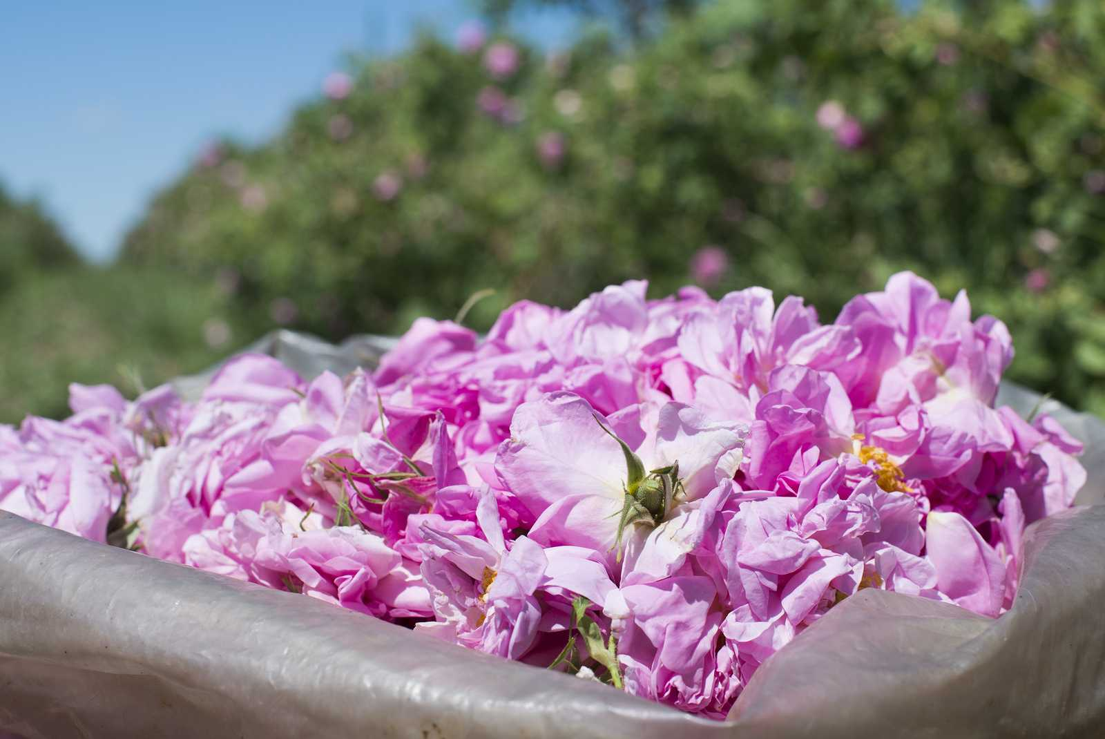 la rosa damscena ingrediente cosmesi coreana