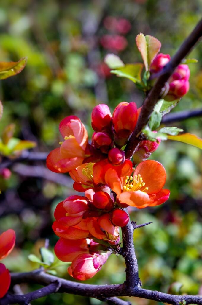 Camellia japonica, il fiore rosso amico della pelle